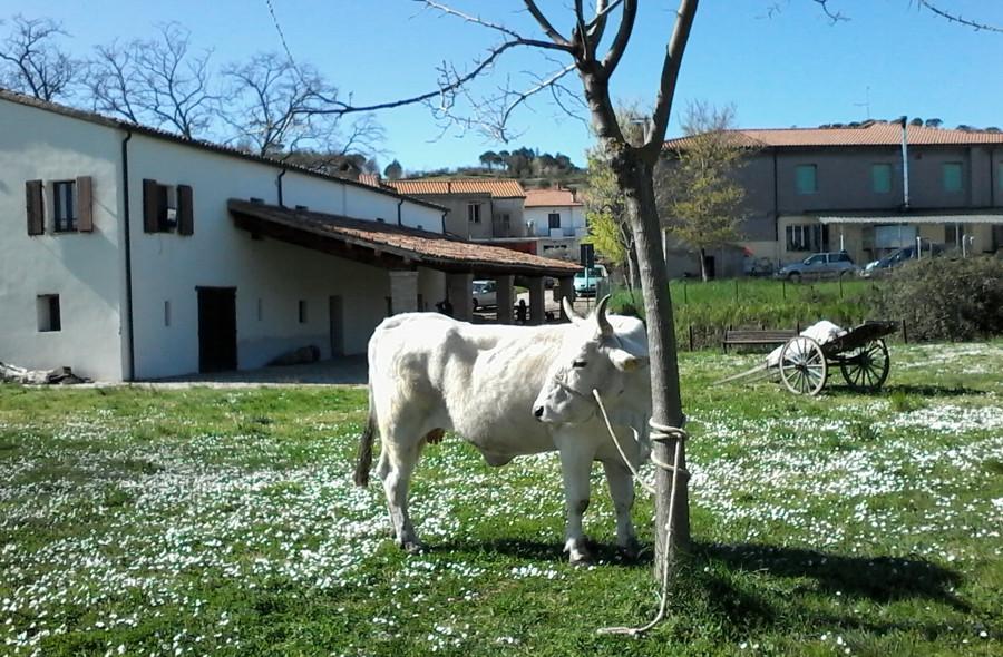 vacca-romagnola