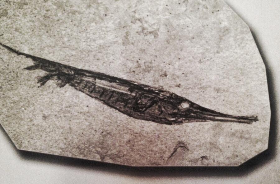 Centriscus-pesce trombetta